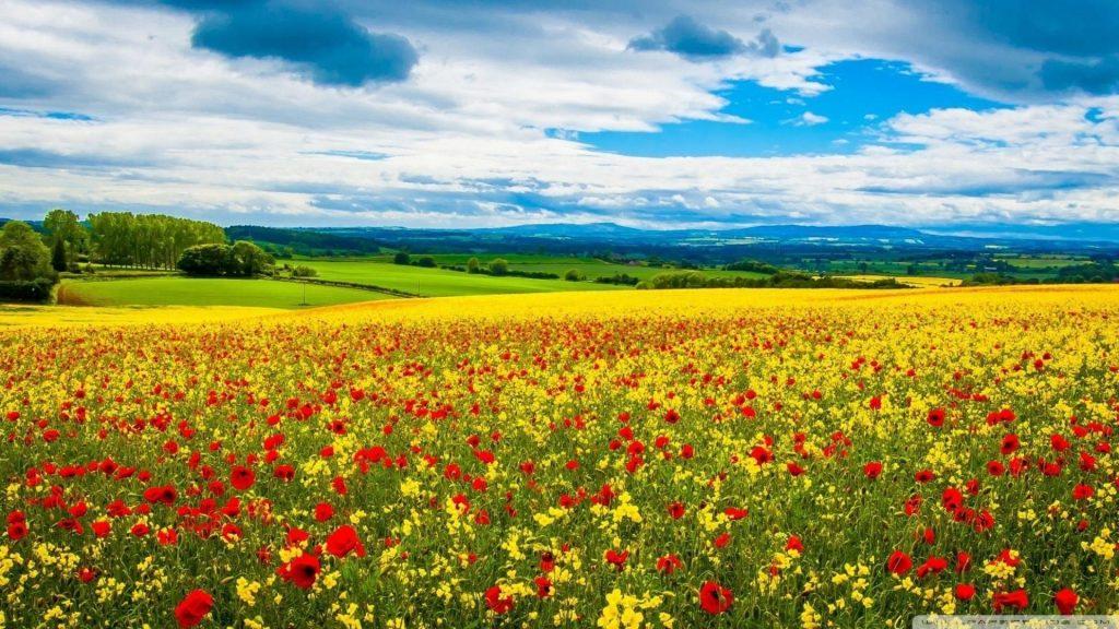 Желтые красные цветы с листьями под голубым облачным небом в желтых полевых цветах обои скачать