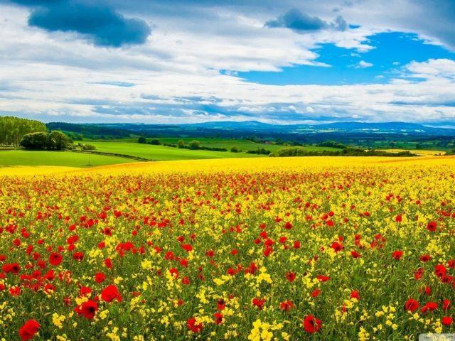 Желтые красные цветы с листьями под голубым облачным небом в желтых полевых цветах