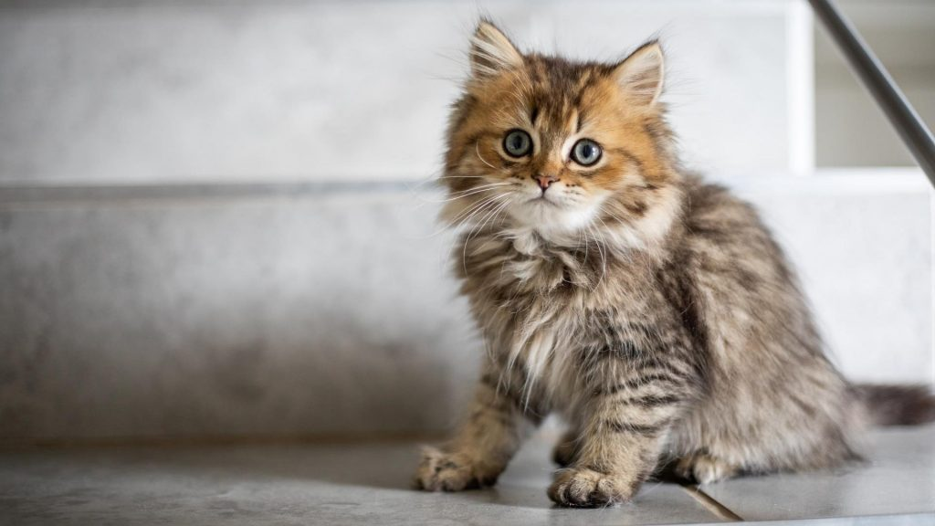 Пепельно-коричневый кот котенок сидит на полу с вытаращенными глазами котенка обои скачать