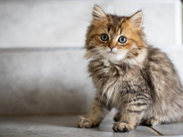 Пепельно-коричневый кот котенок сидит на полу с вытаращенными глазами котенка