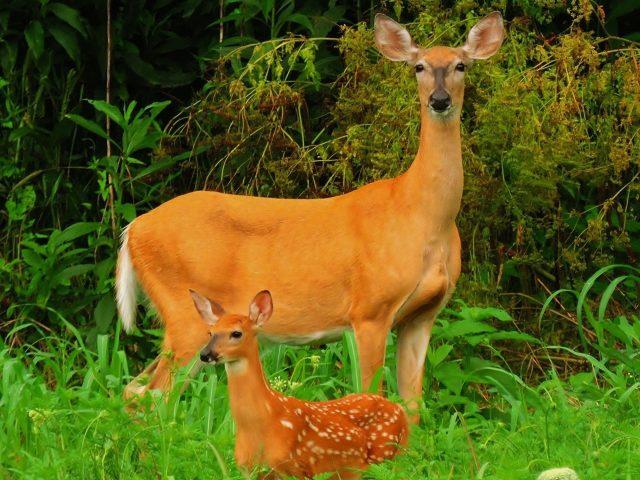 Чудесная картина матери и милого ребенка оленя