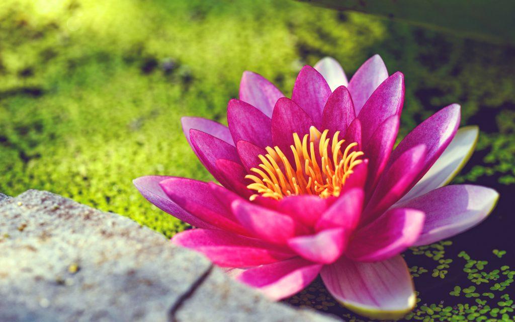 Розовая вода цветок лилии. обои скачать