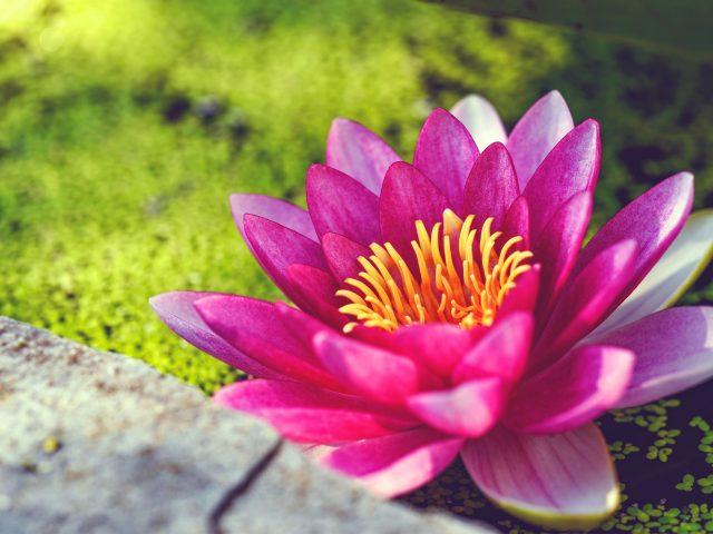 Розовая вода цветок лилии.