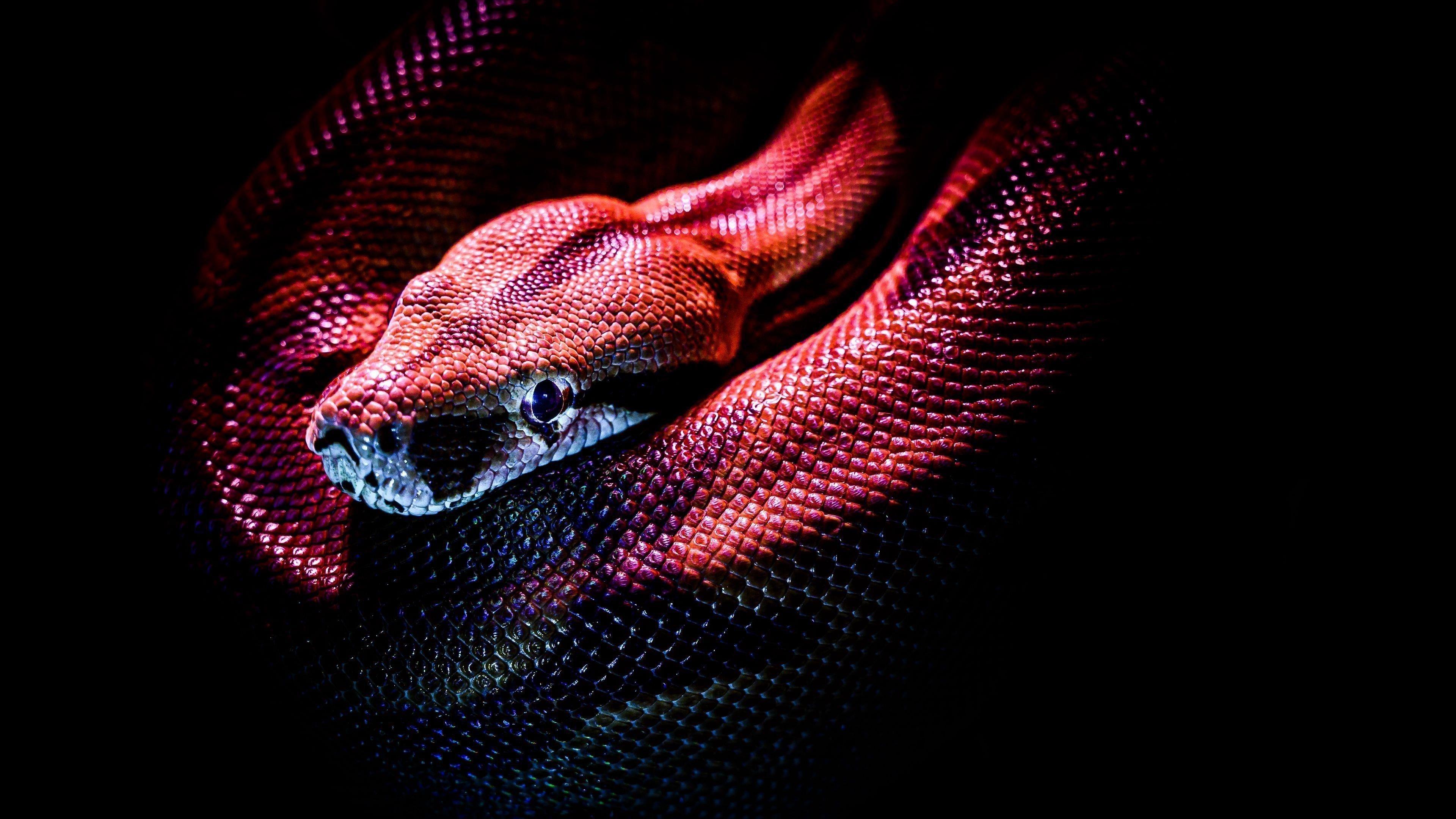 Змея рептилия Красная обои скачать