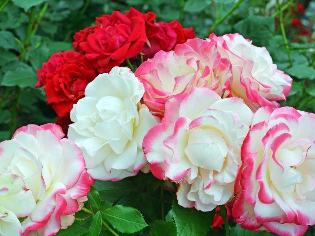 Красные белые розовые цветы розы зеленые листья растения цветы