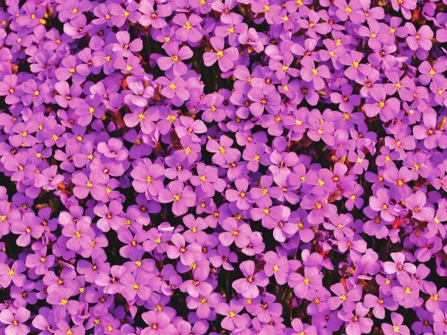 Фиолетовые цветы aubrieta