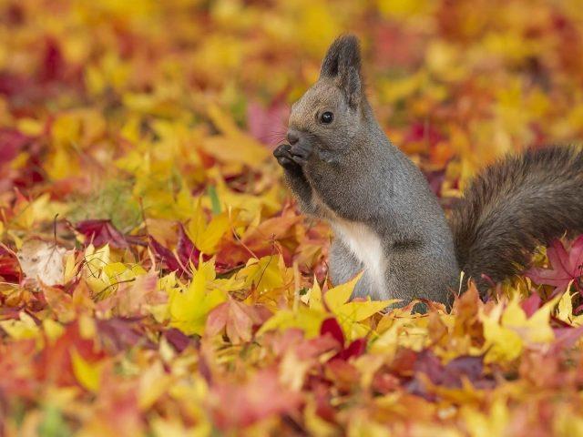 Симпатичная пепельно белая белка стоит на разноцветных сухих листьях животных