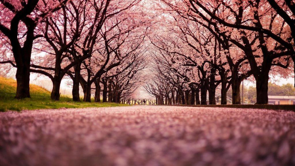 Взгляд червя на природу розовых цветущих деревьев обои скачать