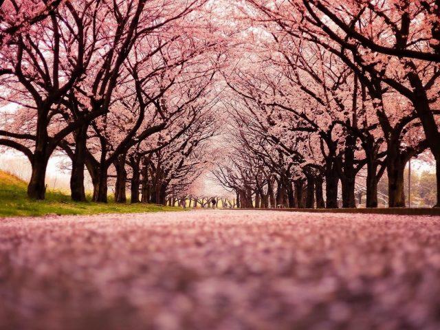 Взгляд червя на природу розовых цветущих деревьев