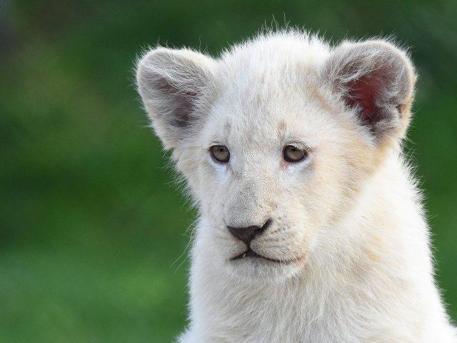 Белый лев с мелким фоном лев