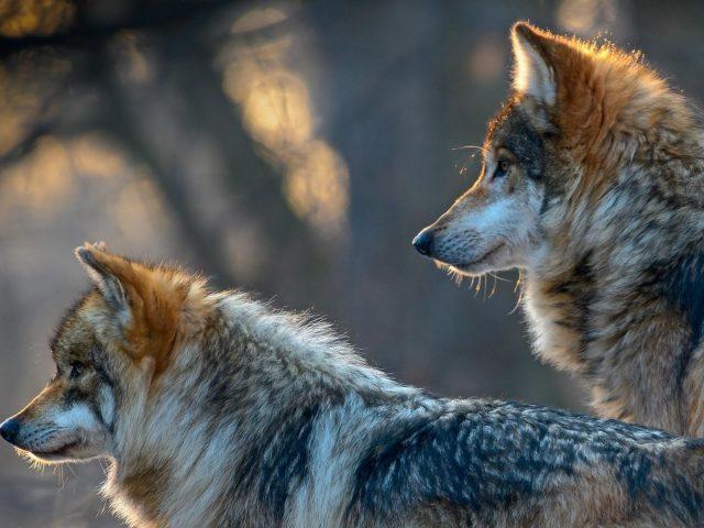 Два коричневых и белых волка стоят и смотрят в одну сторону на фоне голубого пепла животных