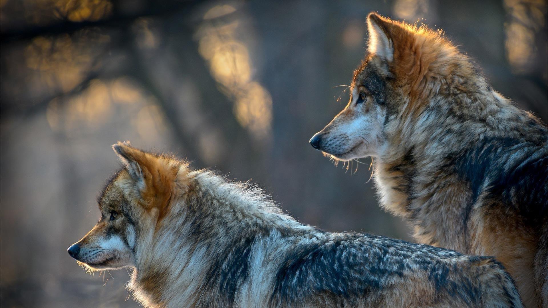 Два коричневых и белых волка стоят и смотрят в одну сторону на фоне голубого пепла животных обои скачать