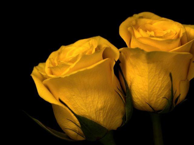 Две желтые розы природа растения цветы