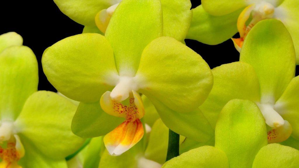 Орхидея желтый цветок крупным планом веточка черный фон цветы обои скачать