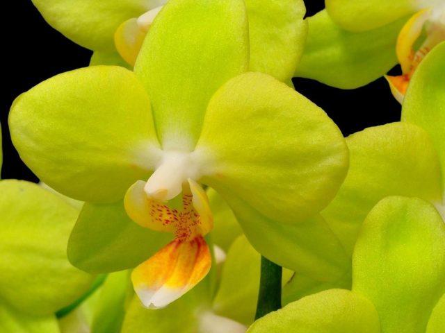 Орхидея желтый цветок крупным планом веточка черный фон цветы
