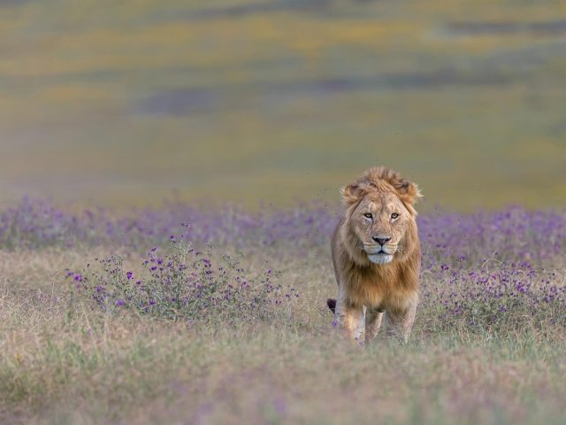 Лев стоит на зеленом поле в дневное время животные