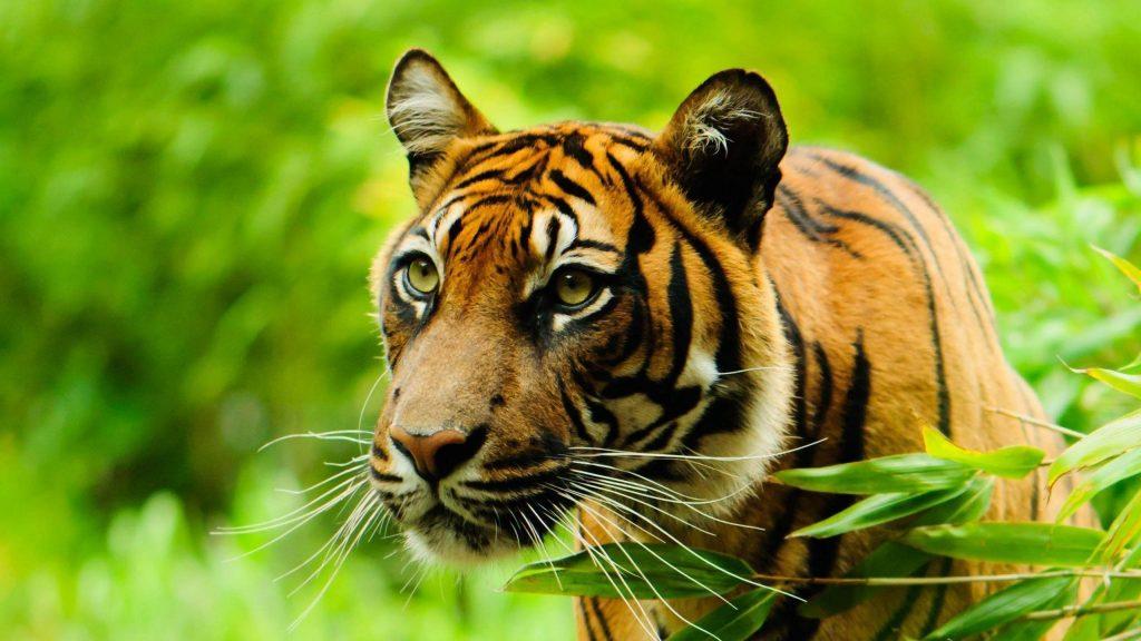 Крупным планом вид тигра на зеленом фоне тигр обои скачать