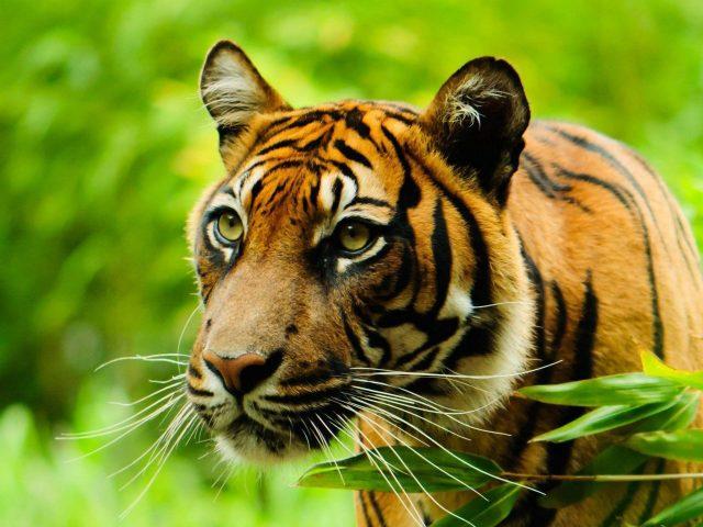 Крупным планом вид тигра на зеленом фоне тигр