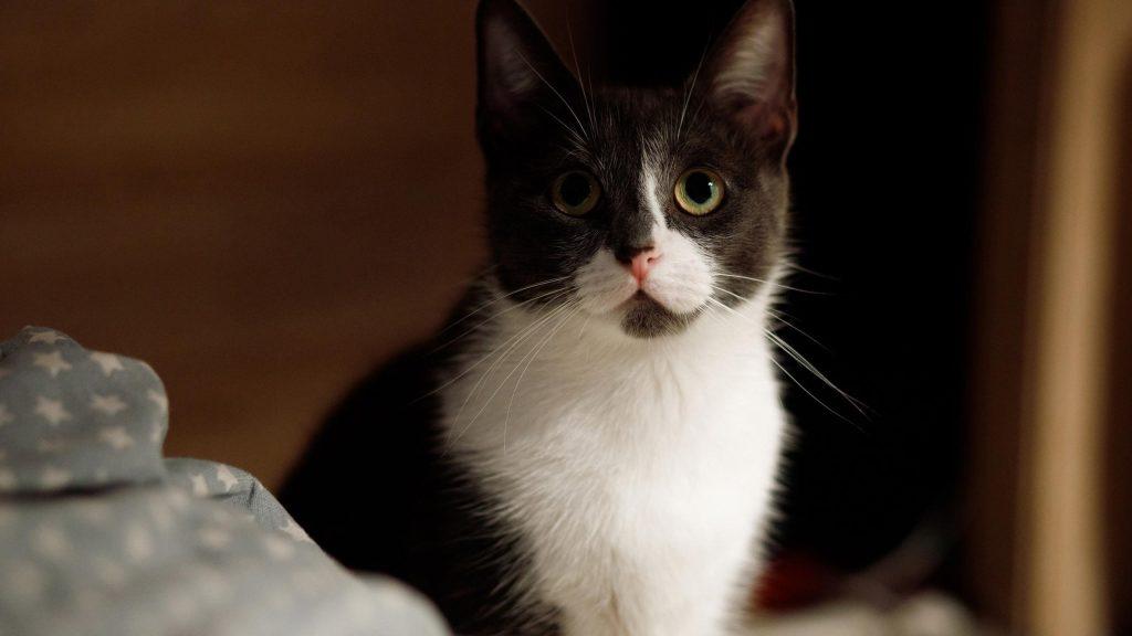Черная белая кошка с пристальным взглядом кошки обои скачать