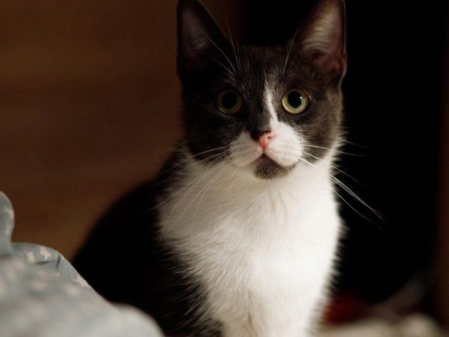 Черная белая кошка с пристальным взглядом кошки