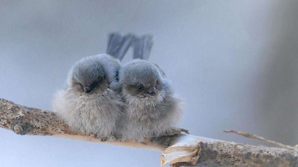 Пепельные птицы сидят на ветке дерева в размытом фоновом режиме птицы обои скачать