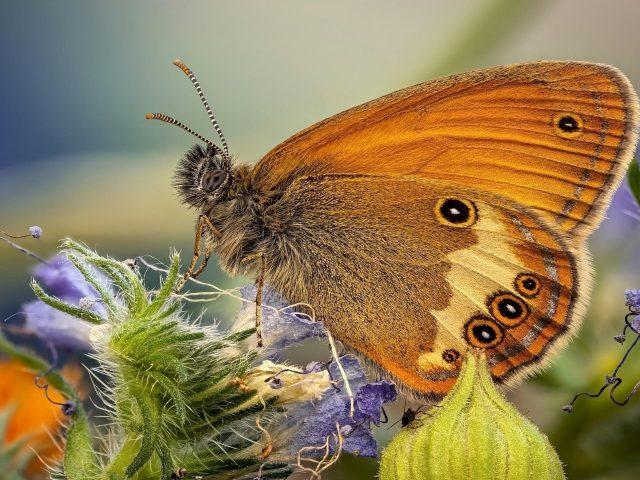 Коричневая желтая черная точка бабочка на фиолетовом цветке на синем фоне бабочка
