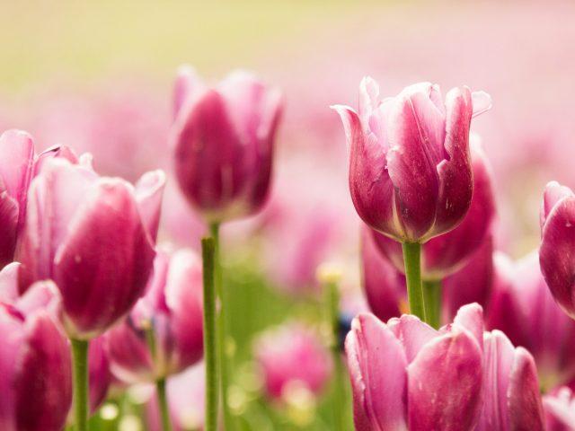Красивые розовые тюльпаны
