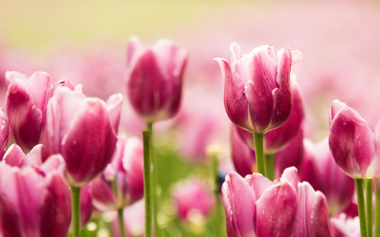 Красивые розовые тюльпаны обои скачать