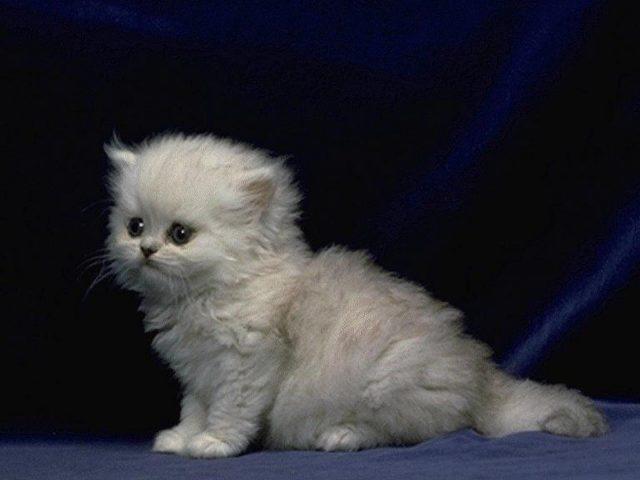 Белый пушистый котенок-кот сидит на синей ткани на черном фоне котенка