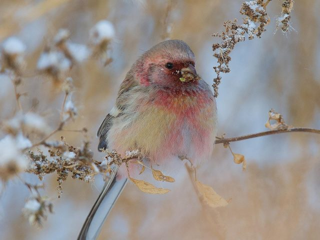 Светло-желтая коричневая красная пухлая птица на ветке дерева птицы