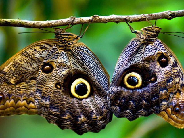Две коричневые и бежевые бабочки на веточке с отпечатками глаз животных