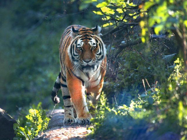 Тигр идет по тропинке между зелеными растениями с солнечными лучами тигр