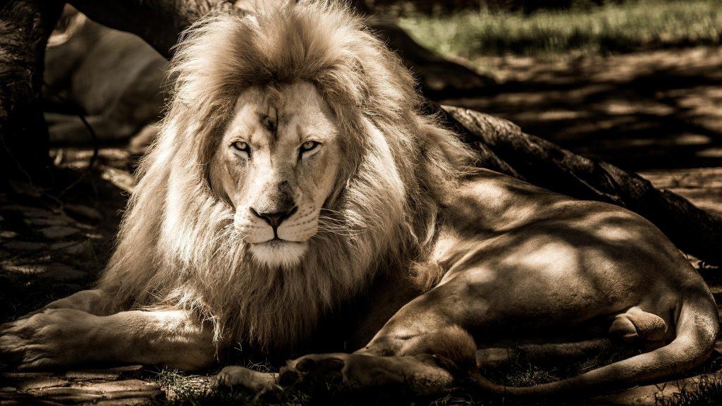 Черно - белая фотография льва льва обои скачать