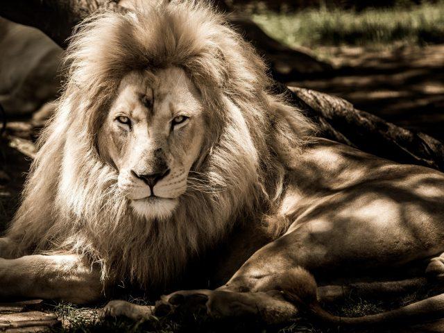 Черно — белая фотография льва льва