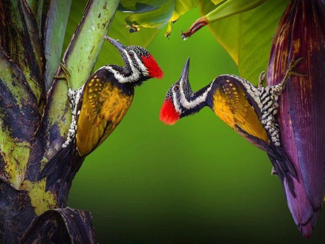 Красно желтый дятел на банановом дереве животные