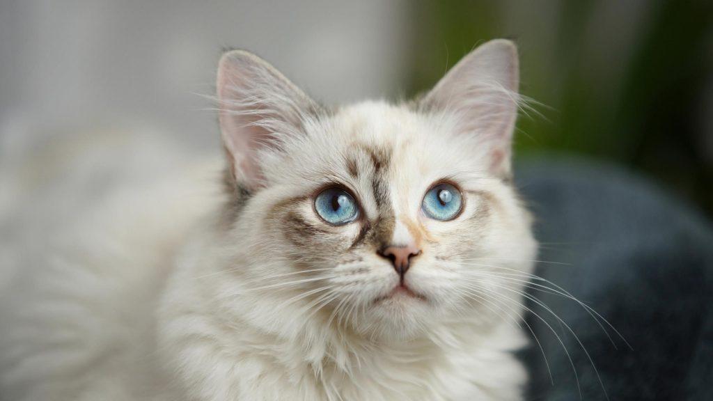 Белая кошка с голубыми глазами на голубом фоне кошка обои скачать