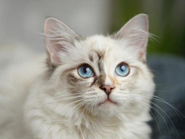 Белая кошка с голубыми глазами на голубом фоне кошка