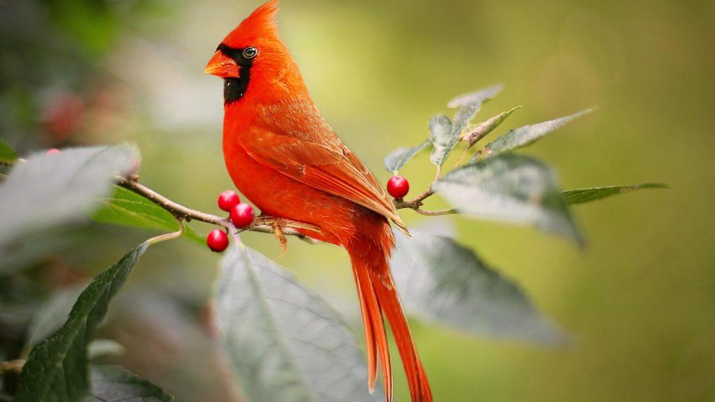 Красный кардинал птица сидит на ветке красного ягодного дерева птицы обои скачать