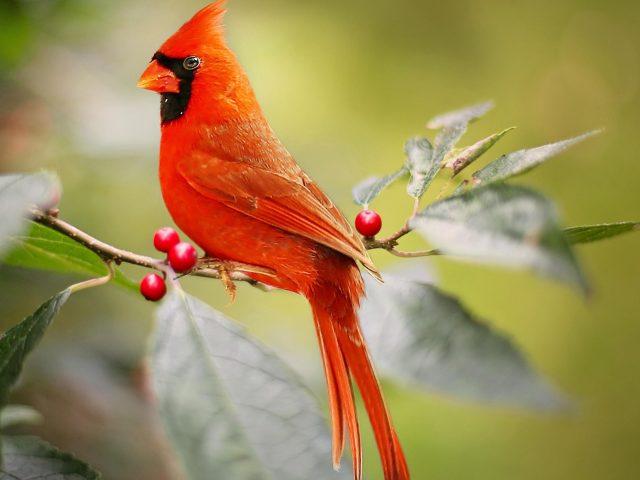 Красный кардинал птица сидит на ветке красного ягодного дерева птицы
