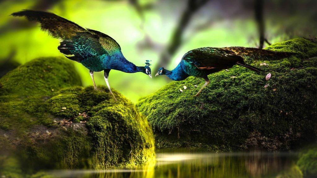 Разноцветные павлины стоят на покрытых зелеными водорослями скальных птицах обои скачать