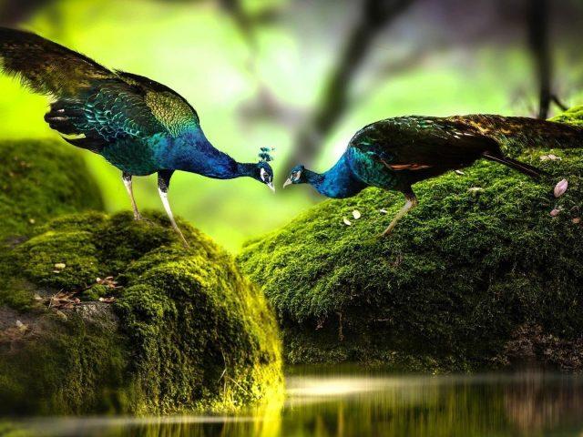 Разноцветные павлины стоят на покрытых зелеными водорослями скальных птицах