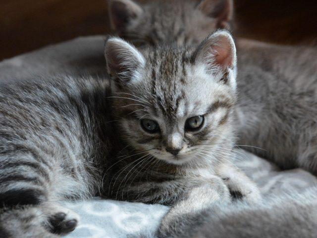 Черный белый кот котенок на ткани котенок