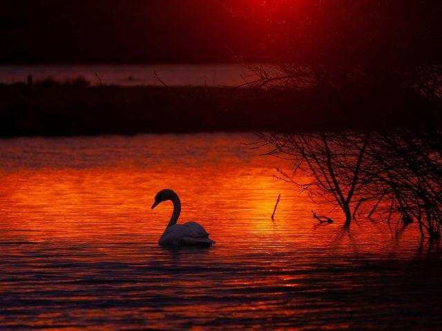 Лебединое озеро птицы