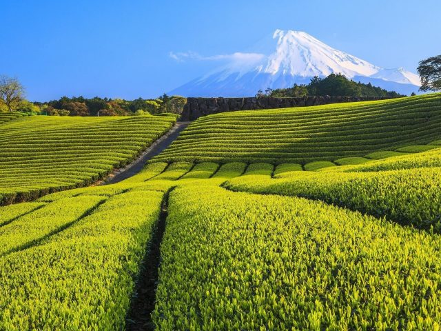 Пейзаж вулкана и чайной плантации полевой природы