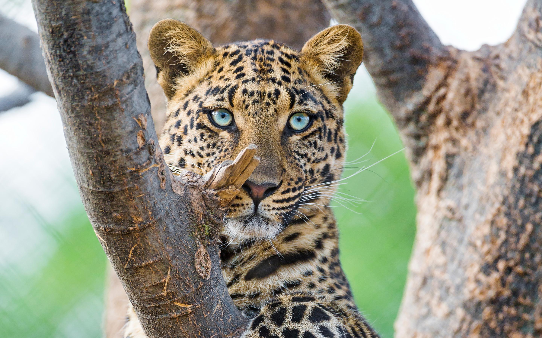 Красивый леопард обои скачать