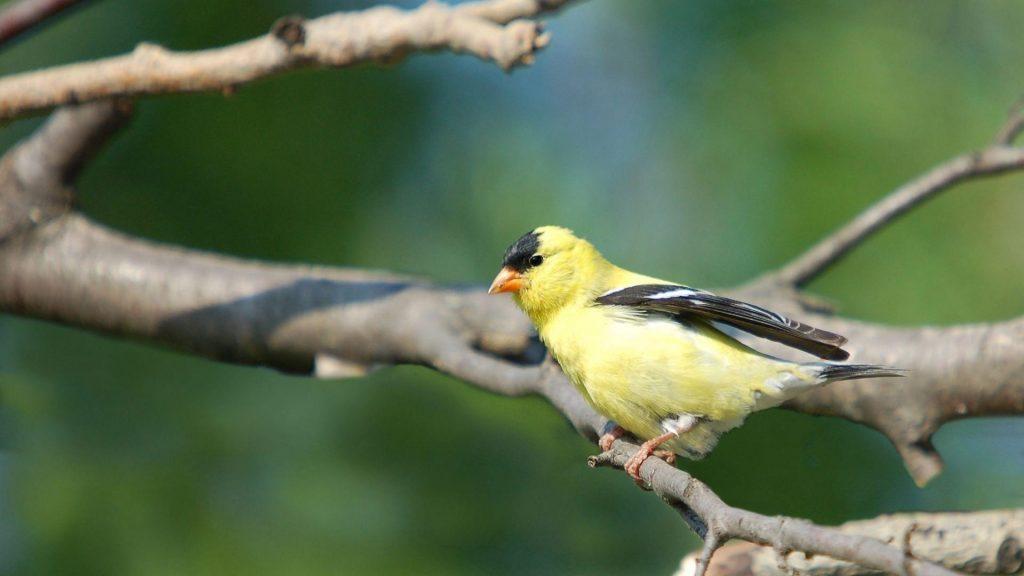 Желто-черная птица на ветке дерева на сине-зеленом фоне птицы обои скачать