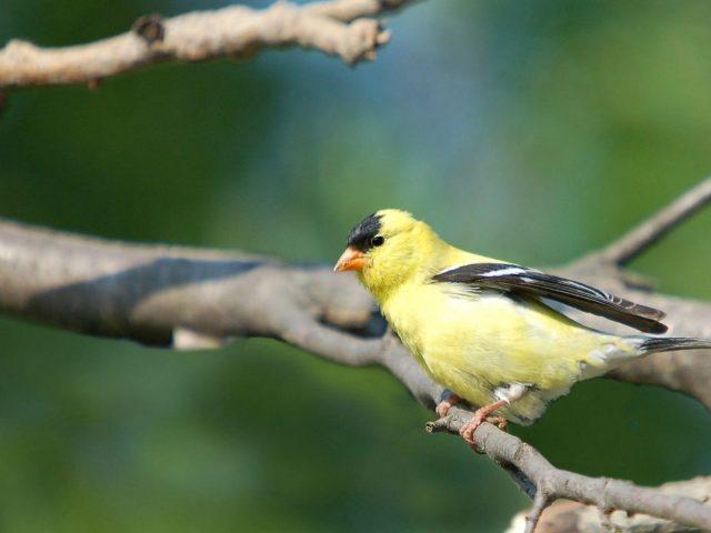 Желто-черная птица на ветке дерева на сине-зеленом фоне птицы