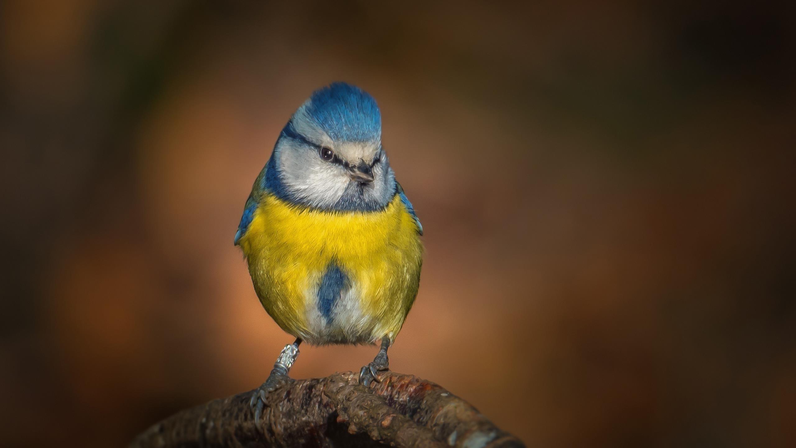 Желто голубая синица на стволе дерева в размытом фоне птицы обои скачать