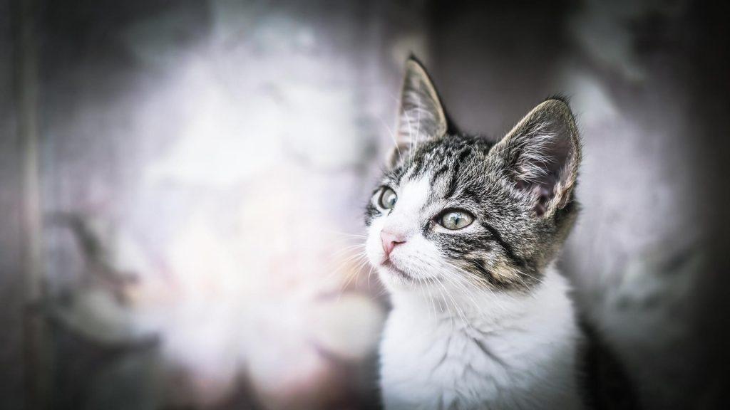 Белый черный кот смотрит вверх на бело синем фоне кота обои скачать