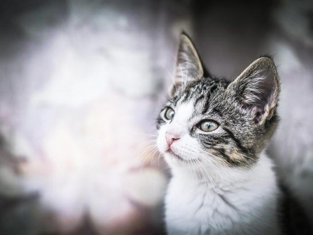 Белый черный кот смотрит вверх на бело синем фоне кота